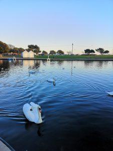 Swans at canoe lake